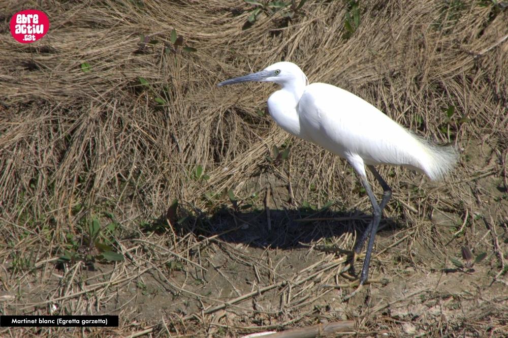Us apropem el territori a casa: ocells del delta de l'Ebre